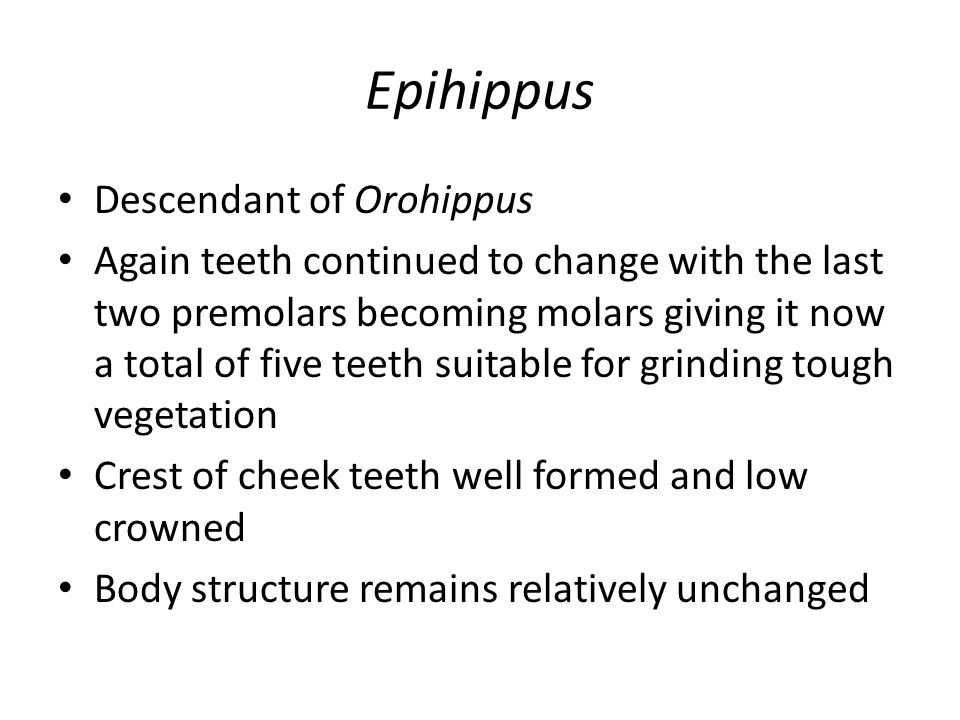 Epihippus Descendant of Orohippus Again teeth continued to change with the last two premolars becoming molars giving it now a total of five teeth suitable for grinding tough vegetation Crest of cheek teeth well formed and low crowned Body structure remains relatively unchanged
