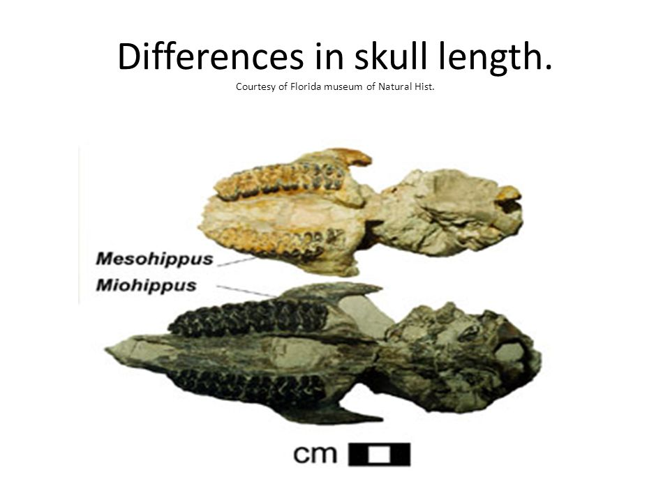 Differences in skull length. Courtesy of Florida museum of Natural Hist.