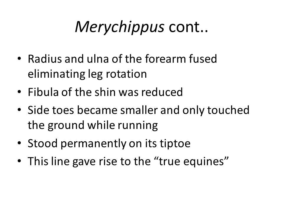 Merychippus cont..