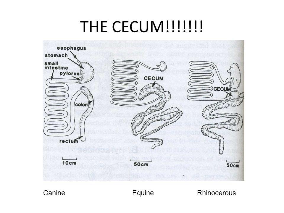 THE CECUM!!!!!!! Canine Equine Rhinocerous