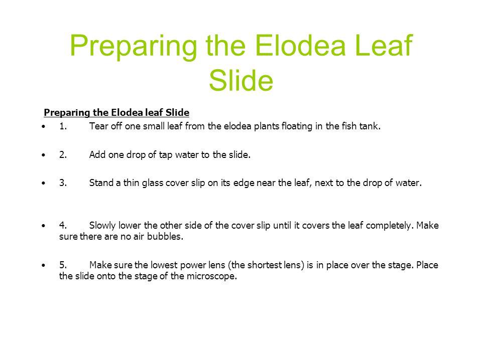 Preparing the Elodea Leaf Slide Preparing the Elodea leaf Slide 1.Tear off one small leaf from the elodea plants floating in the fish tank. 2.Add one