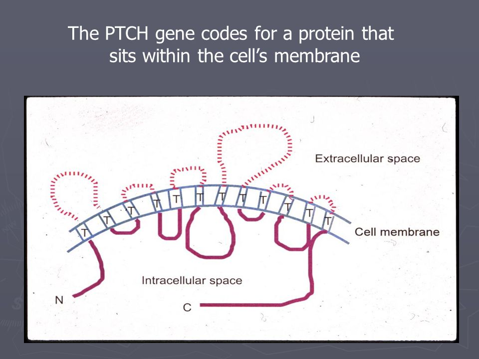 The PTCH gene codes for a protein that sits within the cell's membrane