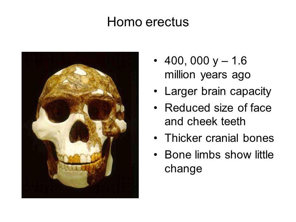 Homo erectus 400, 000 y – 1.6 million years ago Larger brain capacity Reduced size of face and cheek teeth Thicker cranial bones Bone limbs show littl
