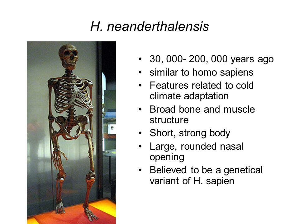 H. neanderthalensis 30, 000- 200, 000 years ago similar to homo sapiens Features related to cold climate adaptation Broad bone and muscle structure Sh