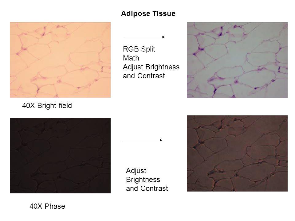 Adipose Tissue 40X Bright field 40X Phase RGB Split Math Adjust Brightness and Contrast Adjust Brightness and Contrast
