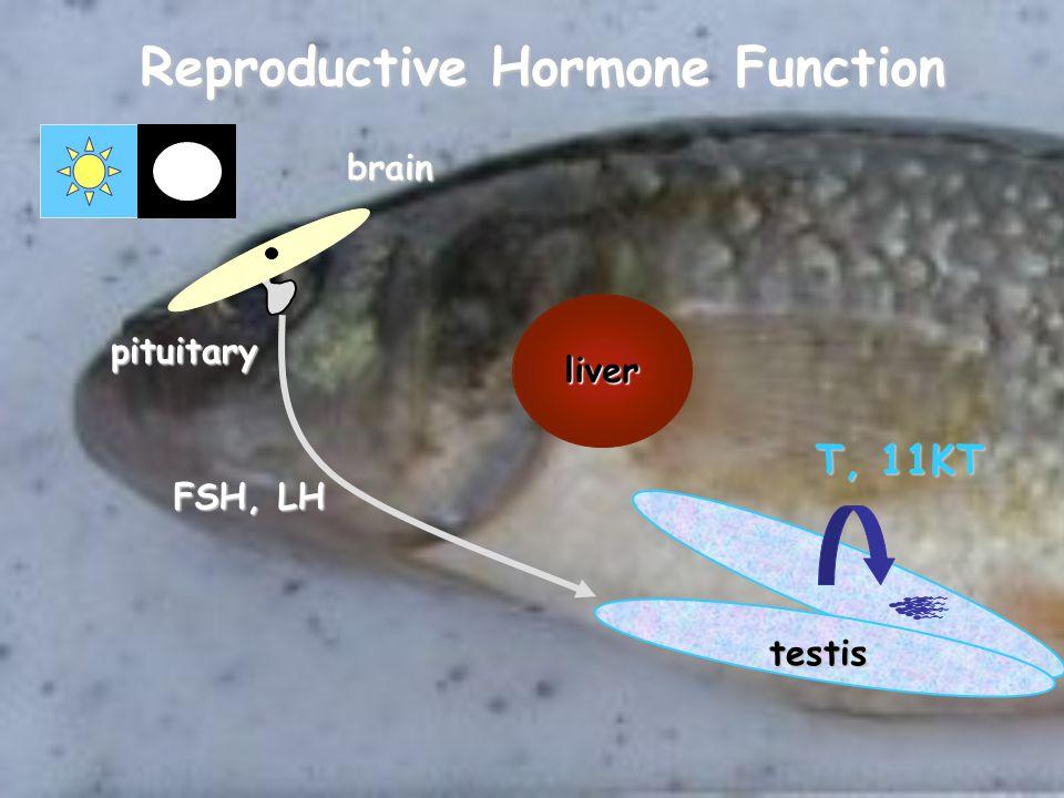 liver testis pituitary brain FSH, LH T, 11KT