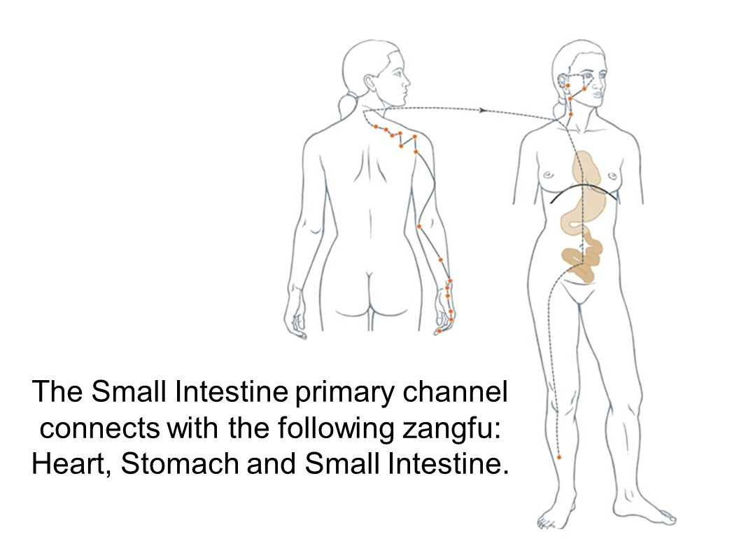 The Small Intestine luo- connecting channel separates from the Small Intestine channel at SI-7 and connects with the Heart channel, connects with the shoulder at L.I.-15