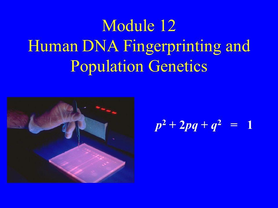 Module 12 Human DNA Fingerprinting and Population Genetics p 2 + 2pq + q 2 = 1