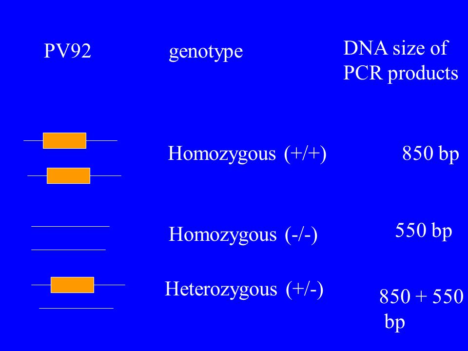 PV92genotype DNA size of PCR products Homozygous (+/+)850 bp Homozygous (-/-) 550 bp Heterozygous (+/-) 850 + 550 bp