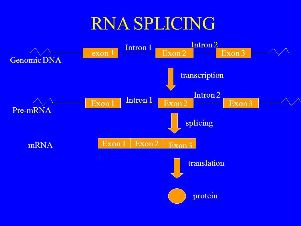 exonExon 2 Exon 1Exon 2 Exon 3 1 transcription Exon 1Exon 2 Exon 3 splicing translation protein Genomic DNA Pre-mRNA mRNA Intron 1 Intron 2 RNA SPLICING