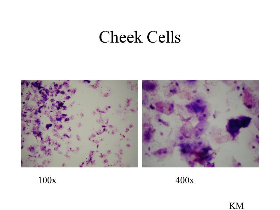 Slides to View Letter E Colored Threads Cheek cells Arthropod: Cyclops or Daphnia Algae: Volvox, Spirogyra, or Stentor Prototists: Amoeba, Paramecium
