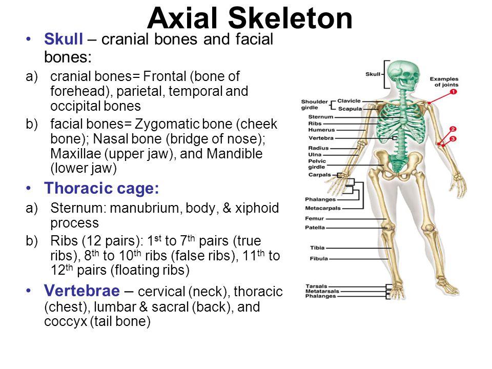 Axial Skeleton Skull – cranial bones and facial bones: a)cranial bones= Frontal (bone of forehead), parietal, temporal and occipital bones b)facial bo