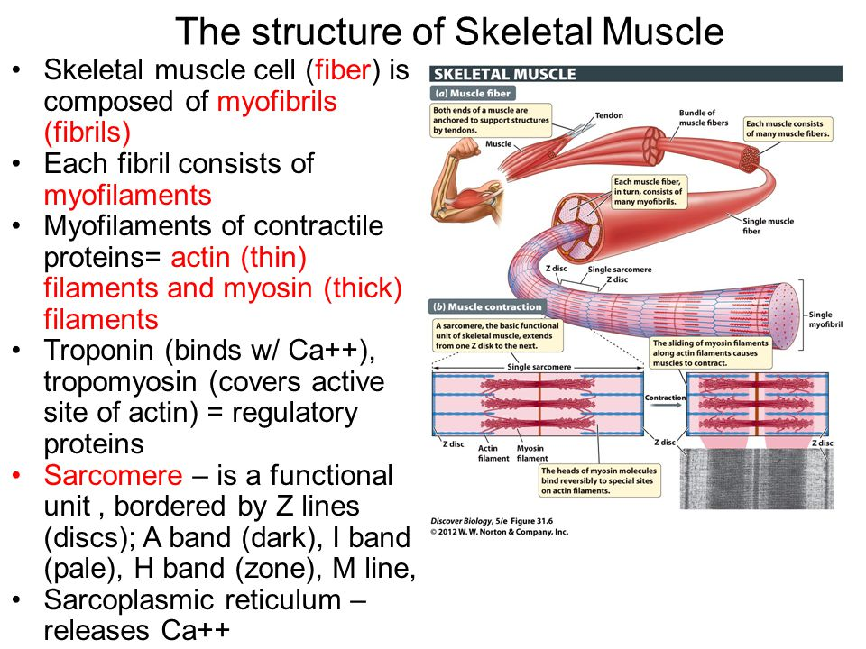 The structure of Skeletal Muscle Skeletal muscle cell (fiber) is composed of myofibrils (fibrils) Each fibril consists of myofilaments Myofilaments of