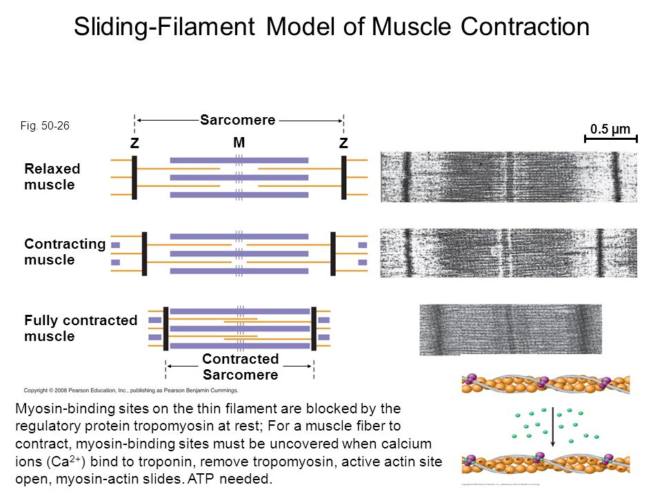 Fig. 50-26 Z Relaxed muscle M Z Fully contracted muscle Contracting muscle Sarcomere 0.5 µm Contracted Sarcomere Sliding-Filament Model of Muscle Cont