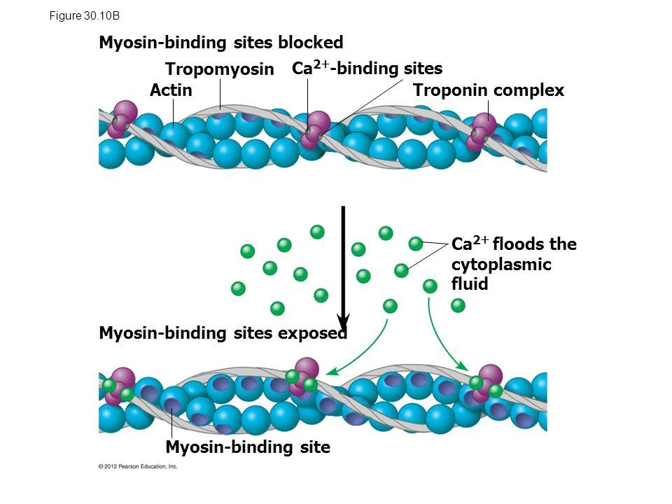 Figure 30.10B Myosin-binding sites blocked Myosin-binding sites exposed Myosin-binding site Ca 2  floods the cytoplasmic fluid Actin Tropomyosin Ca 2