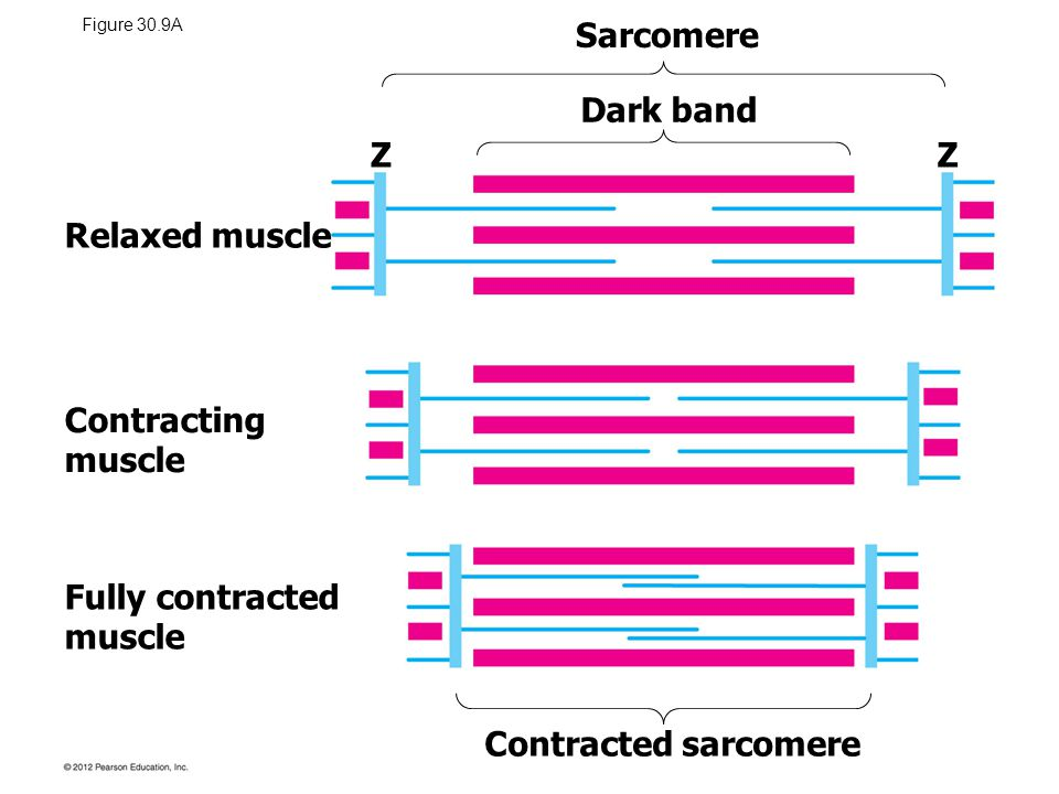Figure 30.9A Relaxed muscle Contracting muscle Fully contracted muscle Dark band Sarcomere Contracted sarcomere ZZ