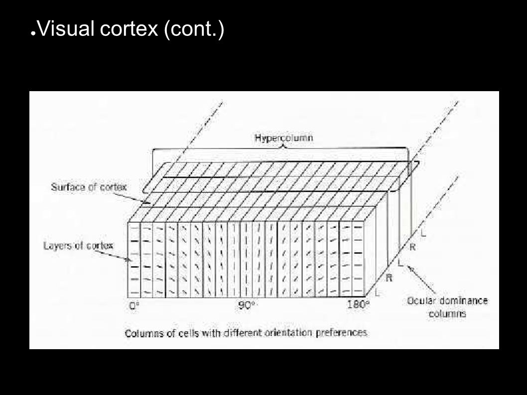● Visual cortex (cont.)