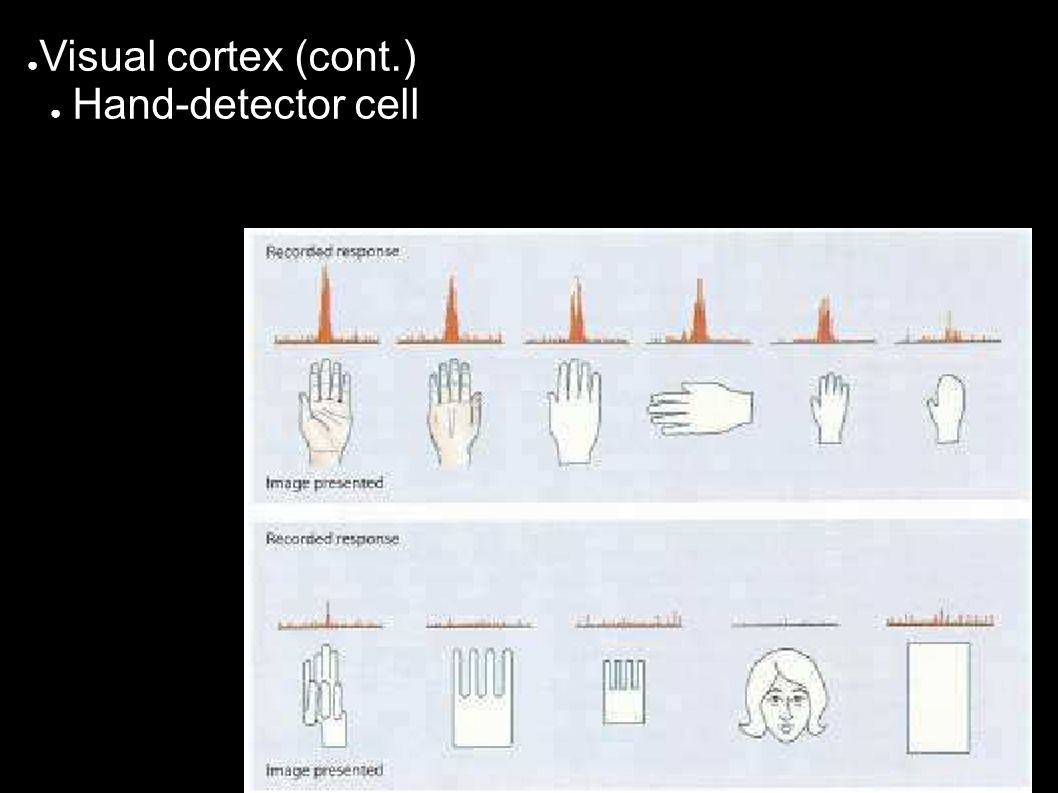 ● Visual cortex (cont.) ● Hand-detector cell