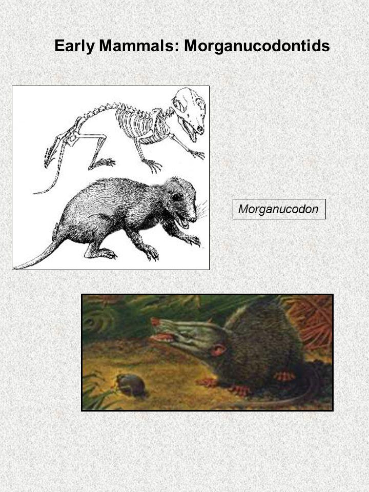 Morganucodon Early Mammals: Morganucodontids