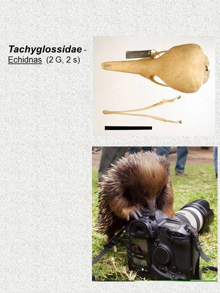Tachyglossidae - Echidnas (2 G, 2 s)