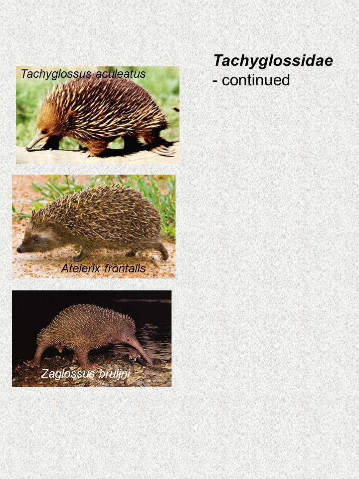 Tachyglossidae - continued Atelerix frontalis Zaglossus bruijni Tachyglossus aculeatus