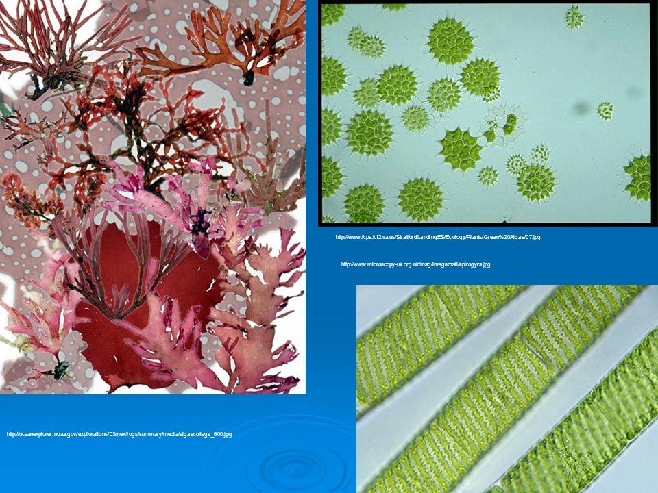 20 http://oceanexplorer.noaa.gov/explorations/03mex/logs/summary/media/algaecollage_600.jpg http://www.microscopy-uk.org.uk/mag/imagsmall/spirogyra.jp