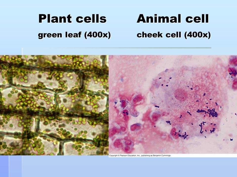 Plant cells Animal cell green leaf (400x) cheek cell (400x) Plant cells Animal cell green leaf (400x) cheek cell (400x)