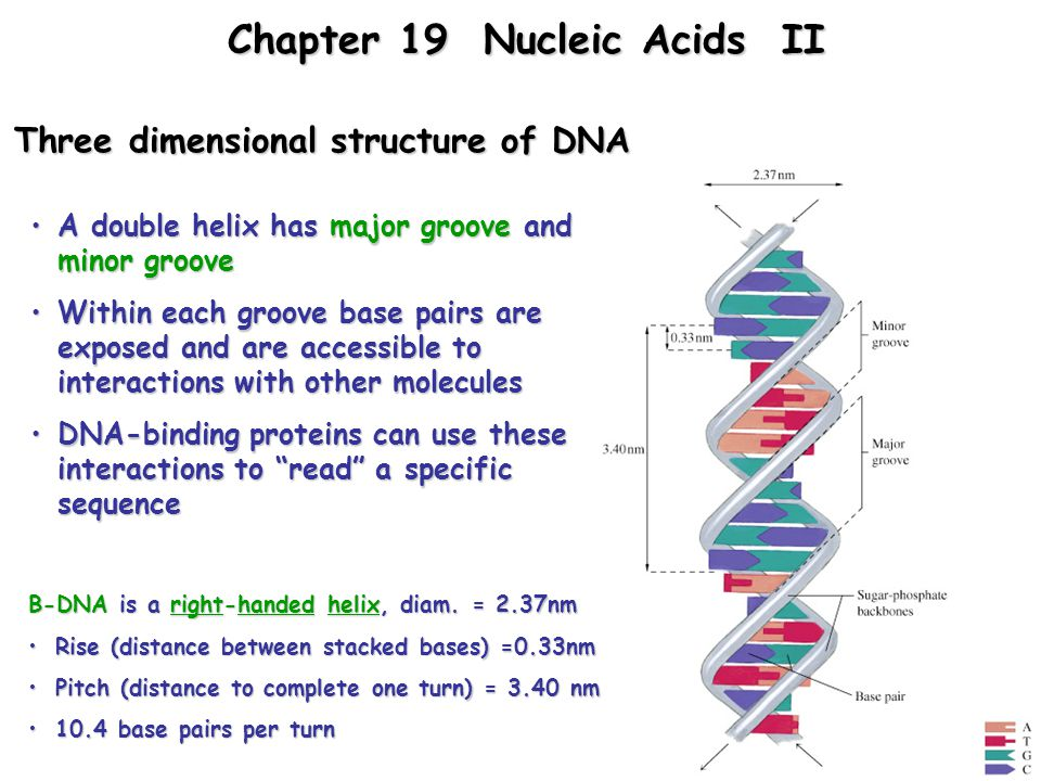 Three dimensional structure of DNA A double helix has major groove and minor grooveA double helix has major groove and minor groove Within each groove base pairs are exposed and are accessible to interactions with other moleculesWithin each groove base pairs are exposed and are accessible to interactions with other molecules DNA-binding proteins can use these interactions to read a specific sequenceDNA-binding proteins can use these interactions to read a specific sequence B-DNA is a right-handed helix, diam.