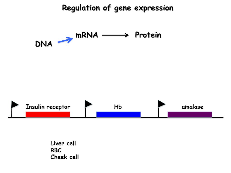 DNA mRNAProtein Hb Liver cell RBC Cheek cell Regulation of gene expression Regulation of gene expression Insulin receptor amalase