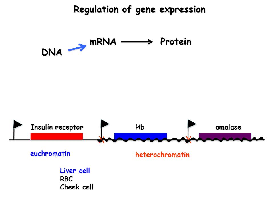 DNA mRNAProtein Hb Liver cell RBC Cheek cell Regulation of gene expression Regulation of gene expression Insulin receptor amalase XX heterochromatin euchromatin