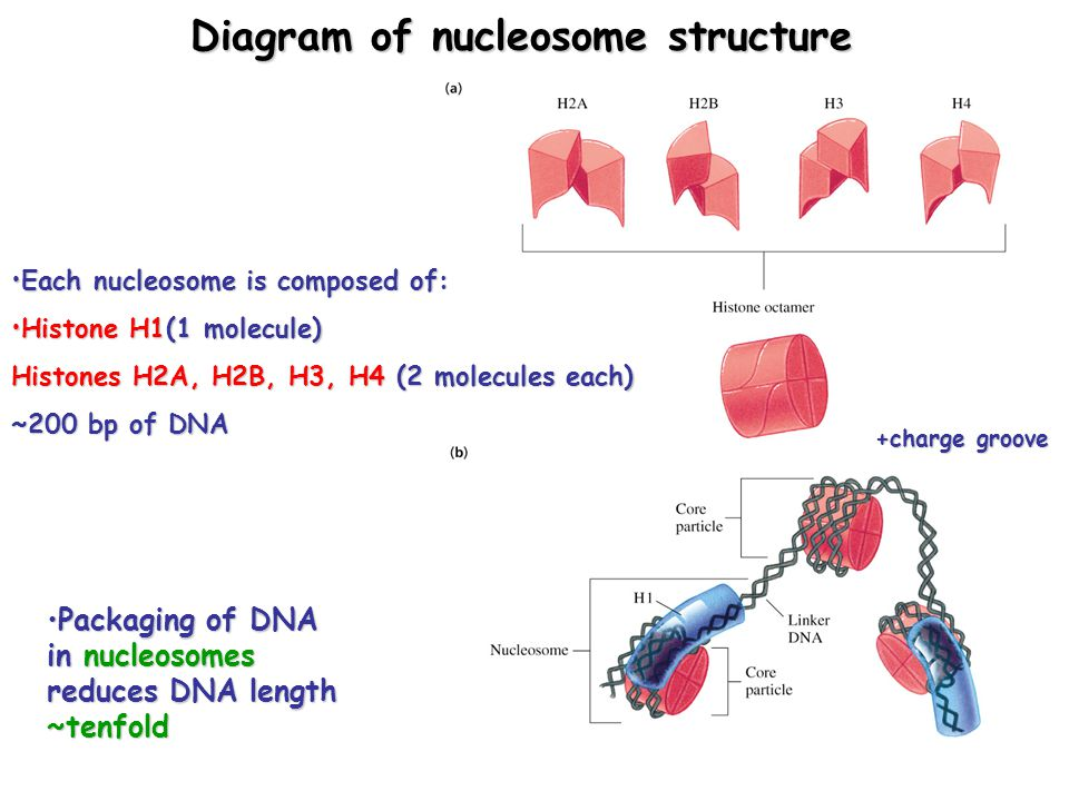 Diagram of nucleosome structure Packaging of DNA in nucleosomes reduces DNA length ~tenfoldPackaging of DNA in nucleosomes reduces DNA length ~tenfold Each nucleosome is composed of:Each nucleosome is composed of: Histone H1(1 molecule)Histone H1(1 molecule) Histones H2A, H2B, H3, H4 (2 molecules each) ~200 bp of DNA +charge groove