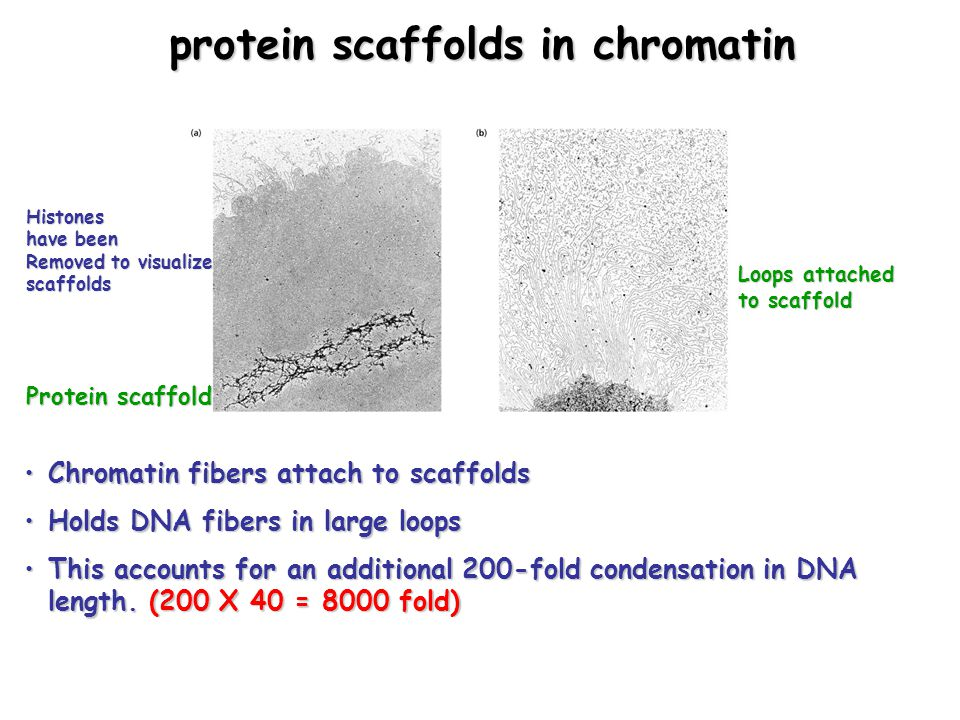 protein scaffolds in chromatin Chromatin fibers attach to scaffoldsChromatin fibers attach to scaffolds Holds DNA fibers in large loopsHolds DNA fibers in large loops This accounts for an additional 200-fold condensation in DNA length.