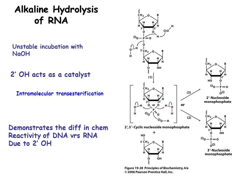Alkaline Hydrolysis of RNA 2' OH acts as a catalyst Demonstrates the diff in chem Reactivity of DNA vrs RNA Due to 2' OH Unstable incubation with NaOH Intramolecular transesterification