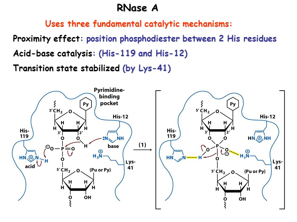 RNase A Uses three fundamental catalytic mechanisms: Proximity effect: position phosphodiester between 2 His residues Acid-base catalysis: (His-119 and His-12) Transition state stabilized (by Lys-41)