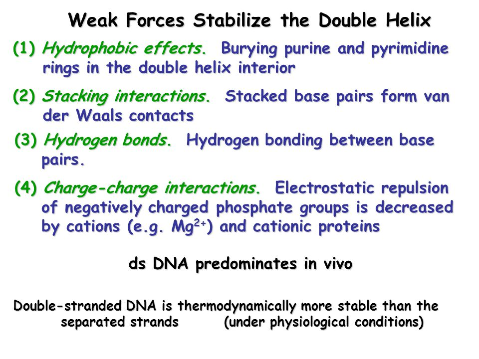 Weak Forces Stabilize the Double Helix (1) Hydrophobic effects.
