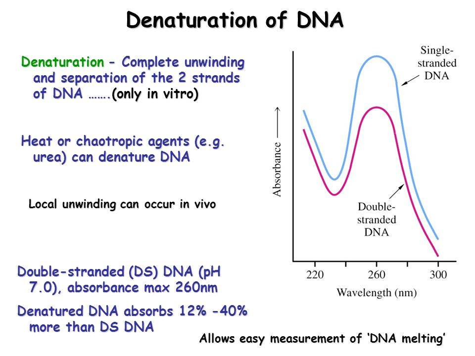 Denaturation of DNA Denaturation - Complete unwinding and separation of the 2 strands of DNA …….(only in vitro) Heat or chaotropic agents (e.g.