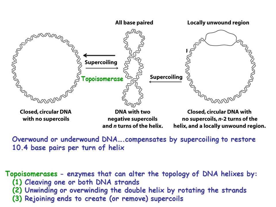 Topoisomerases - enzymes that can alter the topology of DNA helixes by: (1) Cleaving one or both DNA strands (2) Unwinding or overwinding the double helix by rotating the strands (3) Rejoining ends to create (or remove) supercoils Overwound or underwound DNA….compensates by supercoiling to restore 10.4 base pairs per turn of helix Topoisomerase