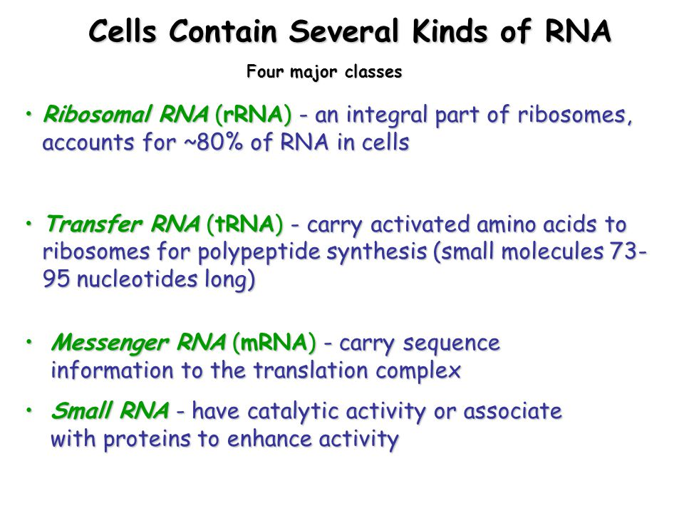 Cells Contain Several Kinds of RNA Cells Contain Several Kinds of RNA Ribosomal RNA (rRNA) - an integral part of ribosomes, accounts for ~80% of RNA in cellsRibosomal RNA (rRNA) - an integral part of ribosomes, accounts for ~80% of RNA in cells Transfer RNA (tRNA) - carry activated amino acids to ribosomes for polypeptide synthesis (small molecules 73- 95 nucleotides long)Transfer RNA (tRNA) - carry activated amino acids to ribosomes for polypeptide synthesis (small molecules 73- 95 nucleotides long) Messenger RNA (mRNA) - carry sequence information to the translation complexMessenger RNA (mRNA) - carry sequence information to the translation complex Small RNA - have catalytic activity or associate with proteins to enhance activitySmall RNA - have catalytic activity or associate with proteins to enhance activity Four major classes