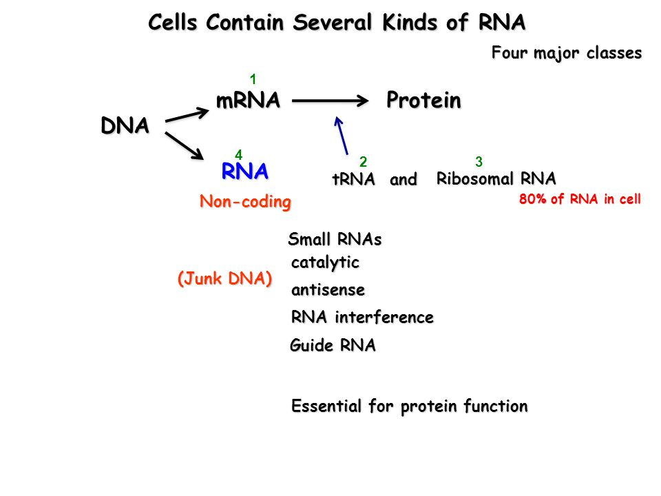 DNA mRNA RNA Protein Non-coding tRNA and Ribosomal RNA catalytic antisense RNA interference Guide RNA Small RNAs 1 23 4 Cells Contain Several Kinds of RNA Cells Contain Several Kinds of RNA (Junk DNA) Essential for protein function Four major classes 80% of RNA in cell