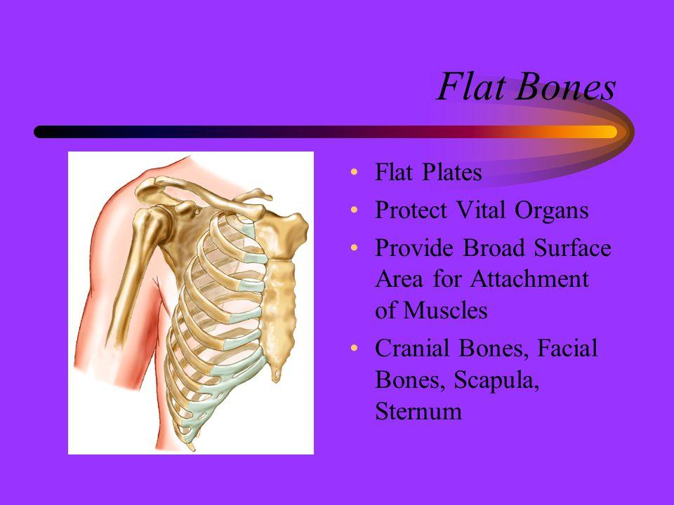 Flat Bones Flat Plates Protect Vital Organs Provide Broad Surface Area for Attachment of Muscles Cranial Bones, Facial Bones, Scapula, Sternum