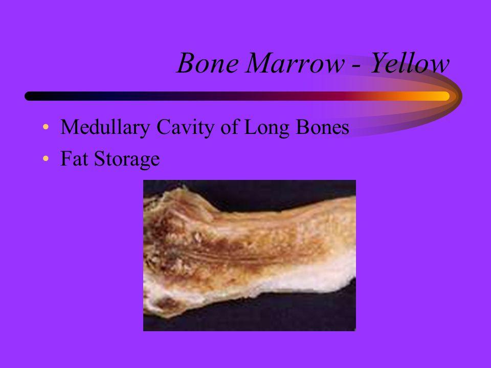 Bone Marrow - Yellow Medullary Cavity of Long Bones Fat Storage