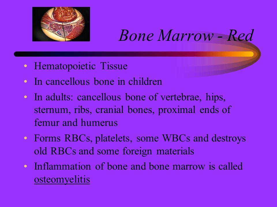 Bone Marrow - Red Hematopoietic Tissue In cancellous bone in children In adults: cancellous bone of vertebrae, hips, sternum, ribs, cranial bones, pro