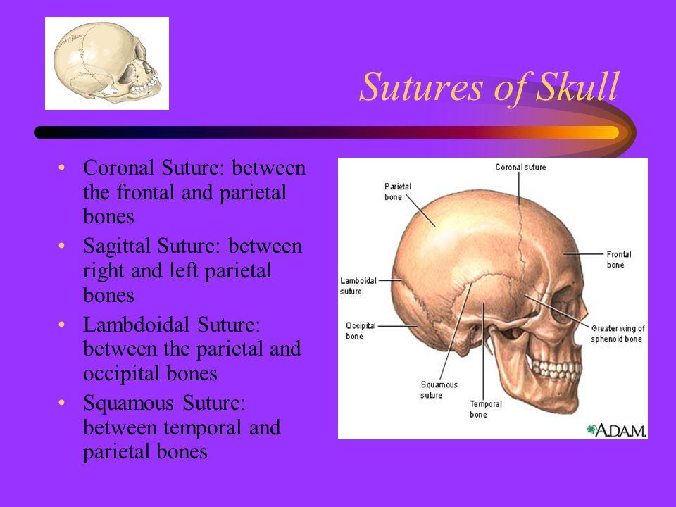 Sutures of Skull Coronal Suture: between the frontal and parietal bones Sagittal Suture: between right and left parietal bones Lambdoidal Suture: betw