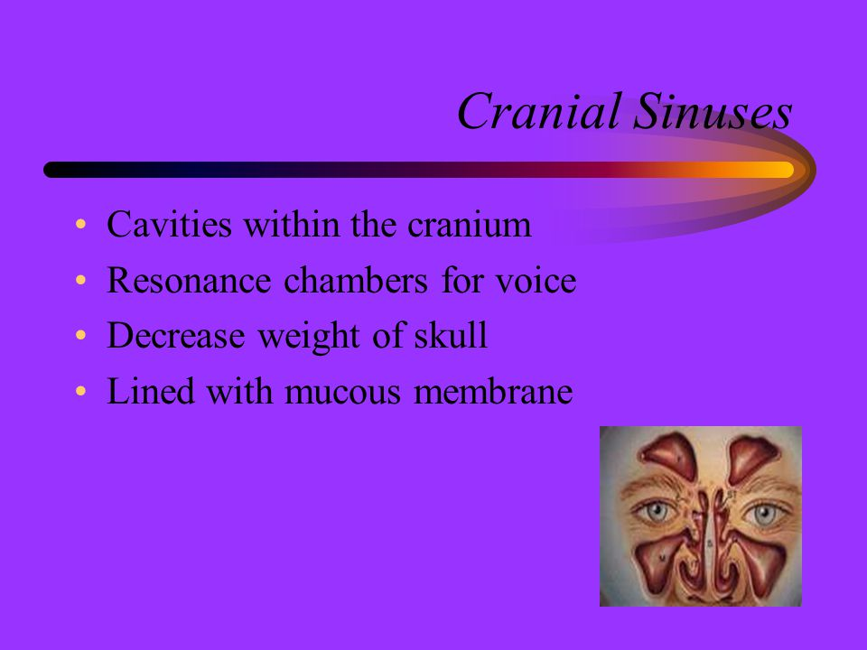Cranial Sinuses Cavities within the cranium Resonance chambers for voice Decrease weight of skull Lined with mucous membrane