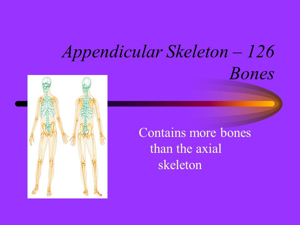 Appendicular Skeleton – 126 Bones Contains more bones than the axial skeleton