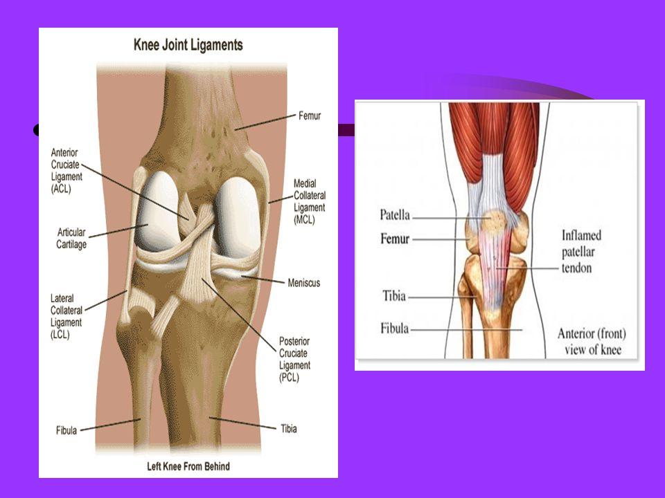 Pelvic Girdle Os Coxae (2): contains the acetabulum (hip socket) 3 components: ilium, ischium, pubis Also, contains the sacrum