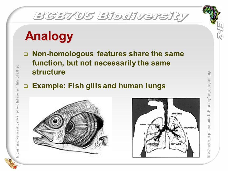   Non-homologous features share the same function, but not necessarily the same structure   Example: Fish gills and human lungs Analogy http://www