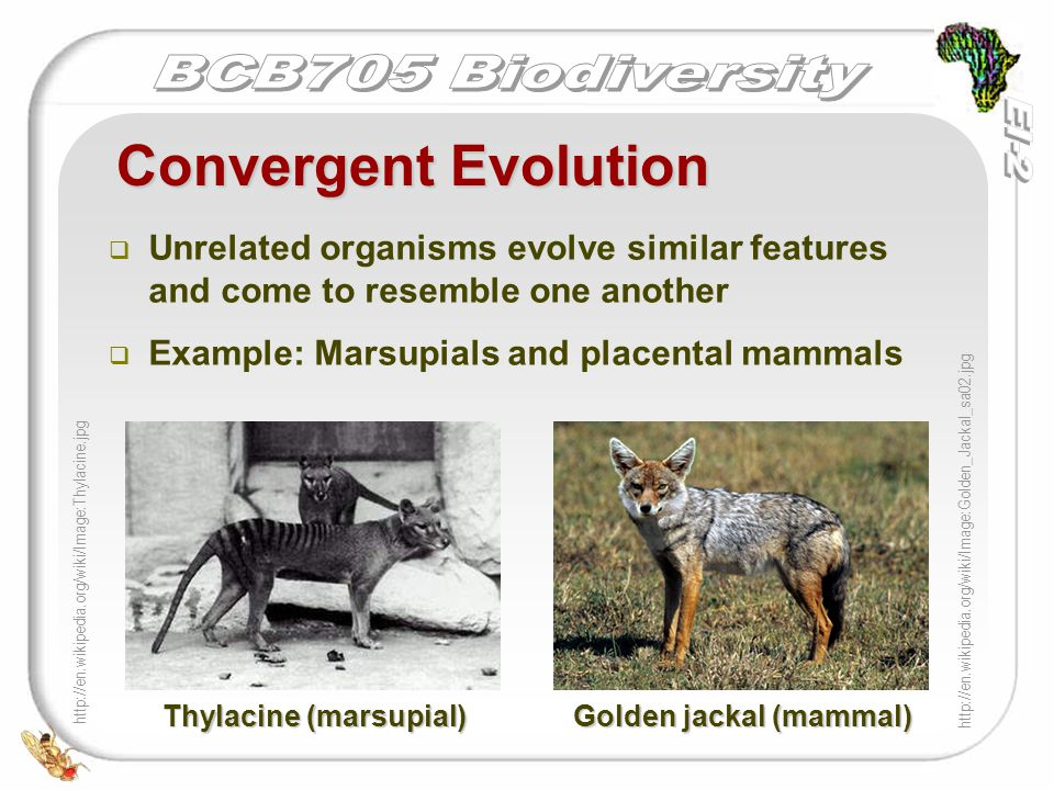   Unrelated organisms evolve similar features and come to resemble one another   Example: Marsupials and placental mammals Convergent Evolution ht