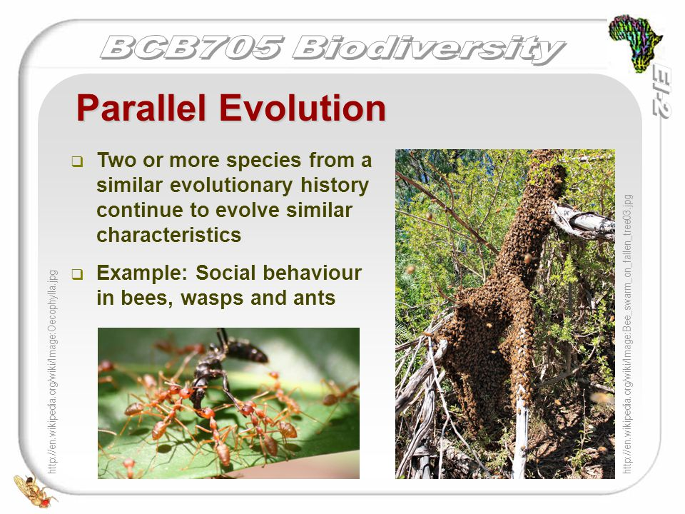   Two or more species from a similar evolutionary history continue to evolve similar characteristics   Example: Social behaviour in bees, wasps an