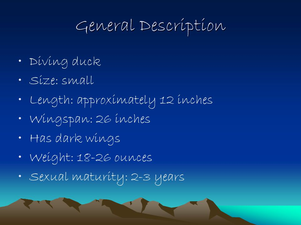 General Description Diving duck Size: small Length: approximately 12 inches Wingspan: 26 inches Has dark wings Weight: 18-26 ounces Sexual maturity: 2-3 years